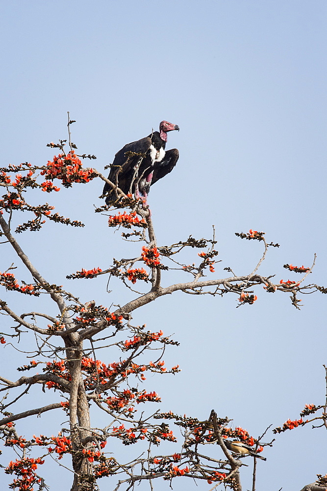 Red-headed vulture (Asian king vulture) (Indian black vulture) (Pondicherry vulture) (Sarcogyps calvus), Ranthambhore, Rajasthan, India, Asia
