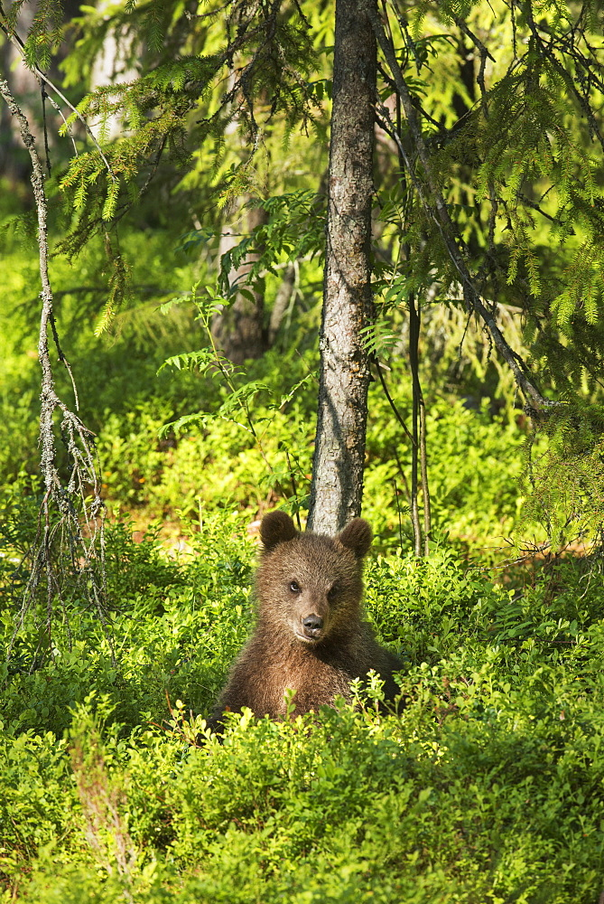 Brown bear cub (Ursus arctos), Kuhmo, Finland, Scandinavia, Europe