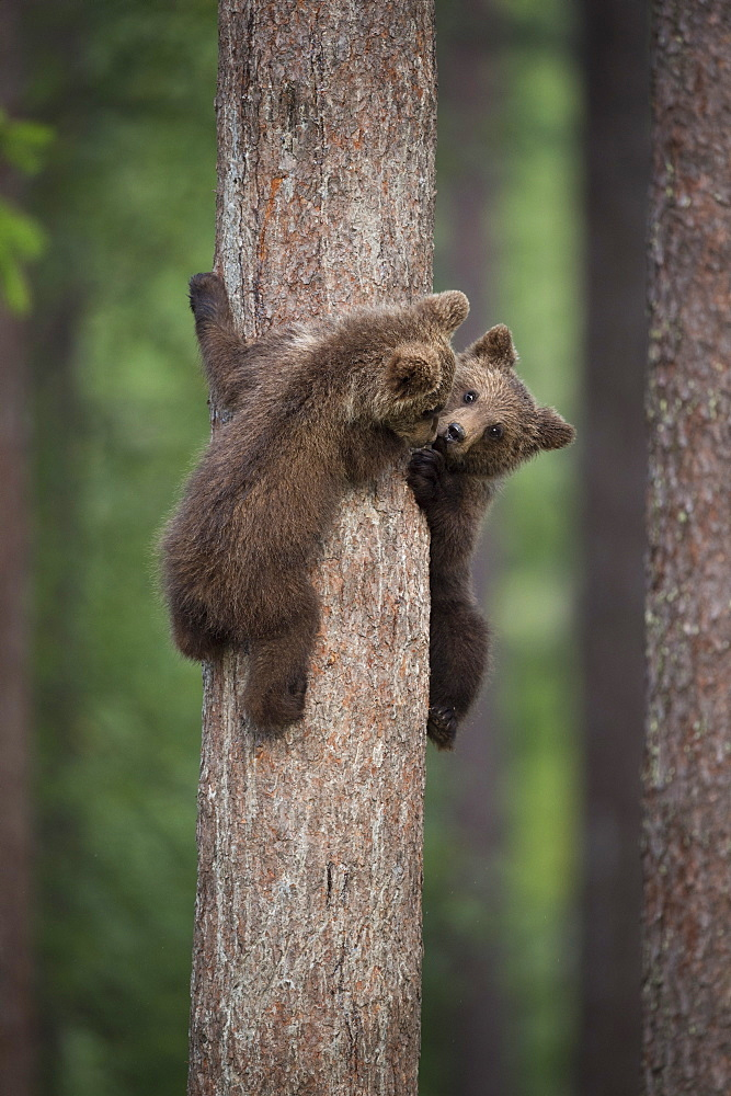 Brown bear cub (Ursus arctos) tree climbing, Finland, Scandinavia, Europe