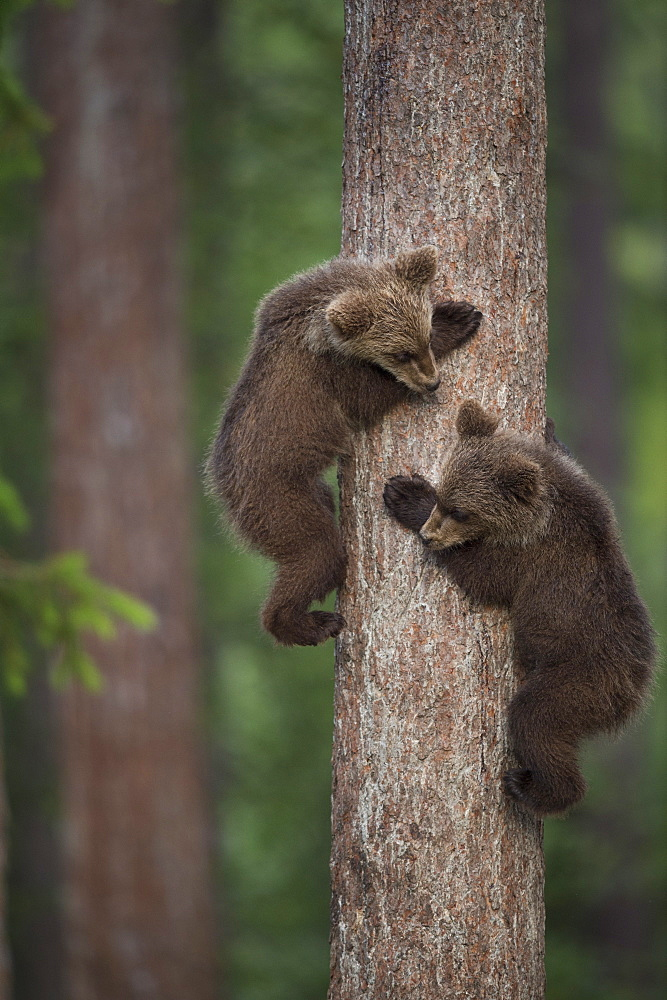 Brown bear cubs tree climbing, Finland, Scandinavia, Europe