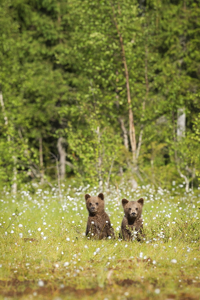 Brown bear cubs (Ursus arctos), Kuhmo, Finland, Scandinavia, Europe