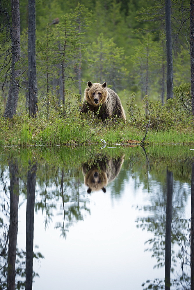 Brown bear (Ursus arctos), Kuhmo, Finland, Scandinavia, Europe
