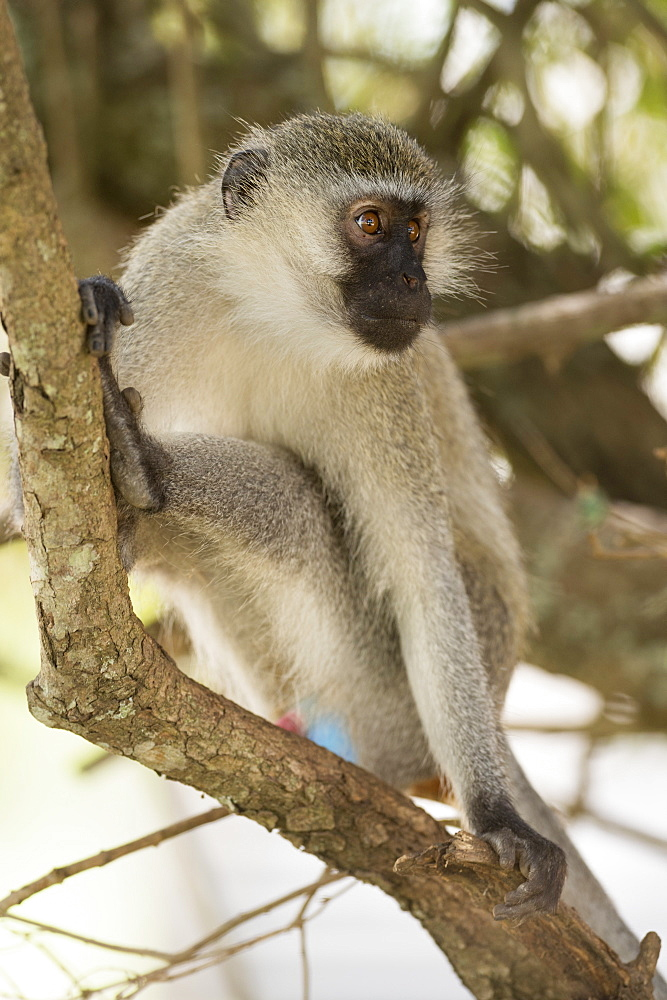 Vervet monkey, Lake Mburu National Park, Uganda, Africa