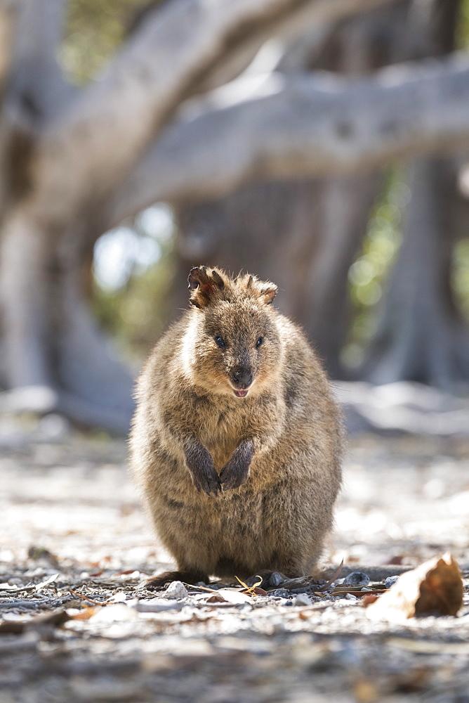 Quokka (Setonix brachyurus), Rottnest Island, Australia, Pacific - 1185-312