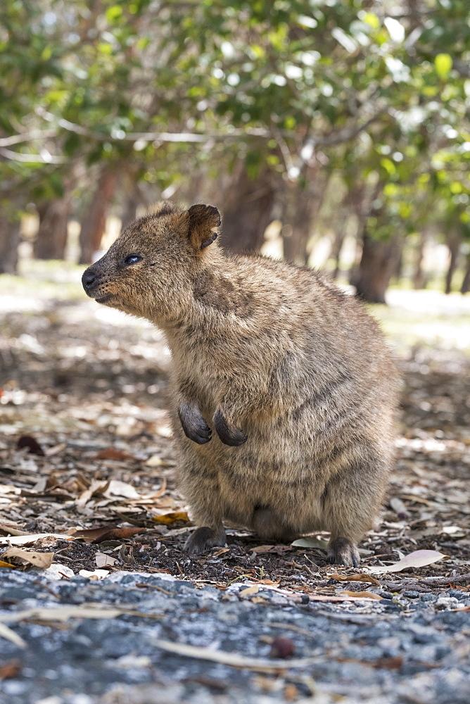 Quokka (Setonix brachyurus), Rottnest Island, Australia, Pacific