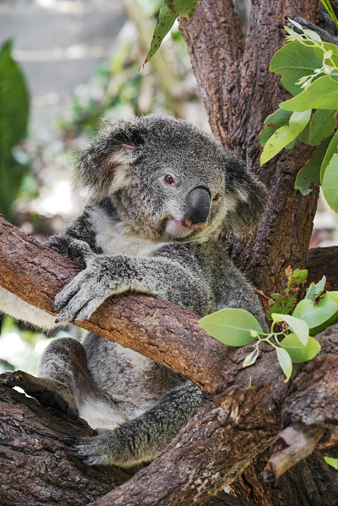Koala (Phascularctos cinereus), captive, Australia, Pacific