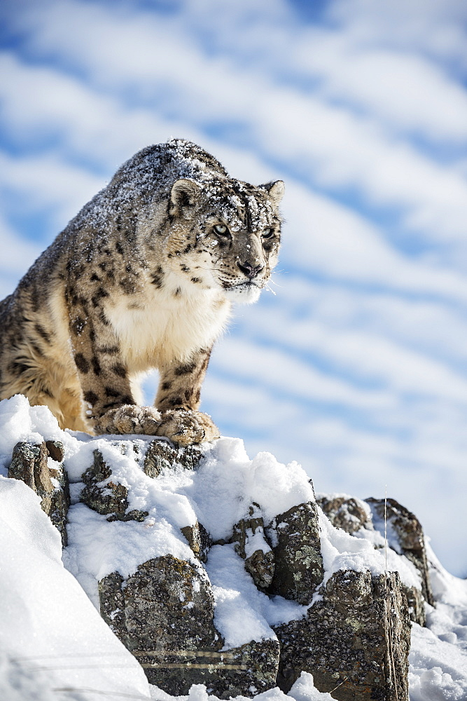 Snow leopard (Panthera india), Montana, United States of America, North America