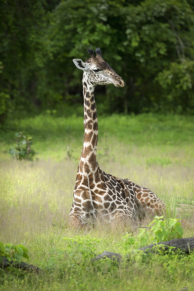 Thornicroft's giraffe (Giraffa camelopardalis thornicrofti), South Luangwa National Park, Zambia, Africa