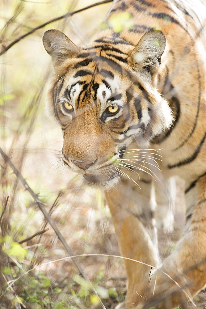 Krishna, T19, Royal Bengal tiger (Tigris tigris), Ranthambhore, Rajasthan, India, Asia