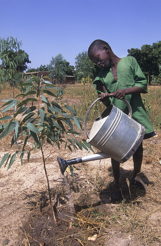 Reforestation, burkina faso. Barsalogho village. Child waters a tree he has just planted - part of a village reforestation project