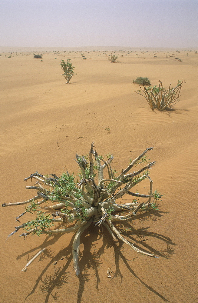 Desert vegetation, mauritania. Sahara.
