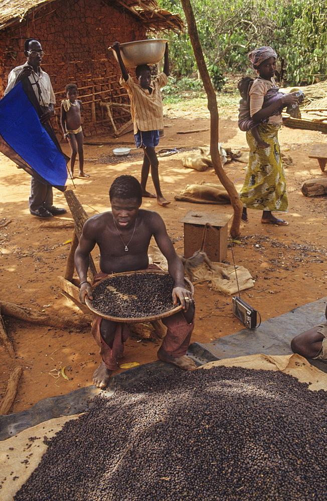 Coffee harvest, ivory coast. Gbetitapea village, daloa town. Grading coffee
