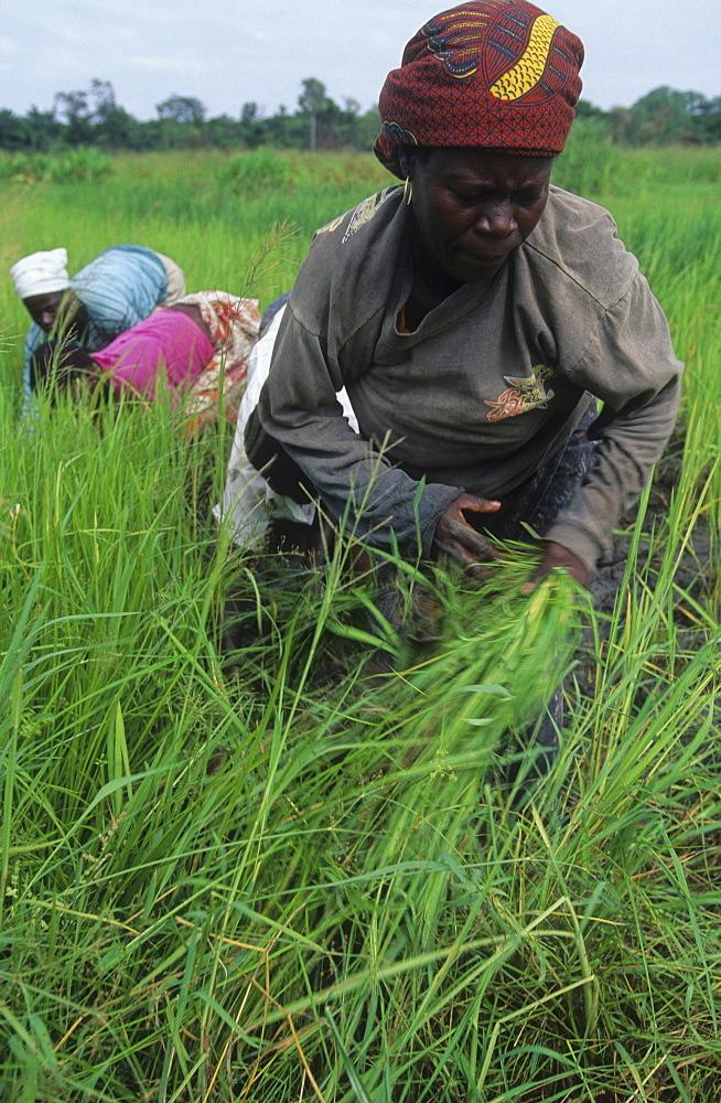 Rice harvest, ivory coast. Ferekessedougou