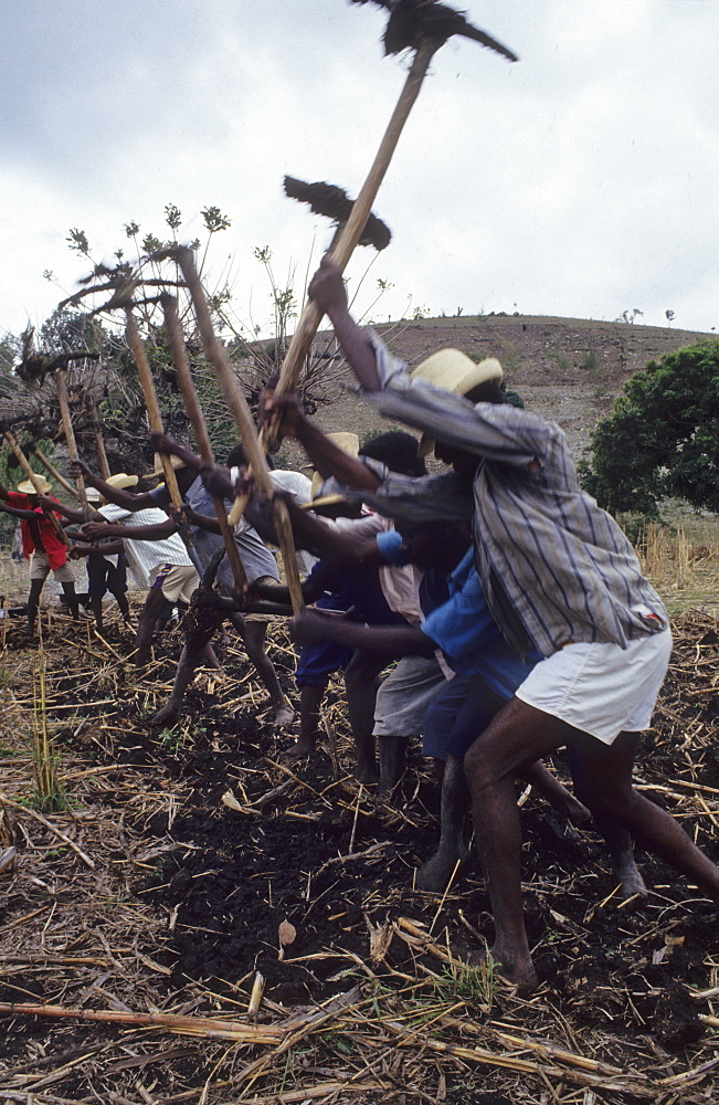 Peasant farming, haiti. Central plateau. Villagers working together from sunrise to sunset, preparing the ground for planting. These occasions are known as konbits. An elderly man beats a rhythm on a drum