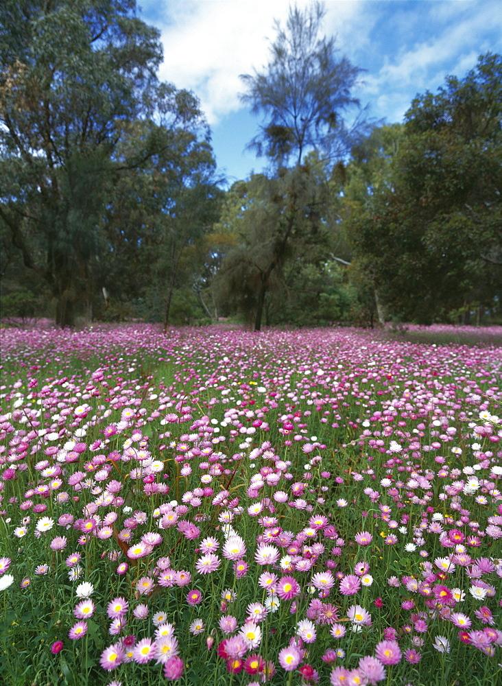 Wild flowers, australia. Western australia. Everlasting flowers