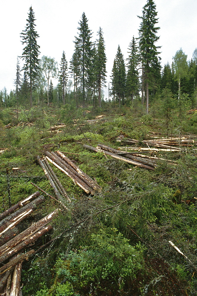 Scandinavian forestry, sweden. Vicinity sundsvall. Strict regulations govern the felling of clear-cut areas in scandinavia. Forest owners must restock the felled areas either through natural regeneration or cultivation. Older tree stems are preserved to protect the habitat of wildlife and felling tends to be planned over large zones, so that protected areas can be linked together with migration passage ways, often running along watercourses