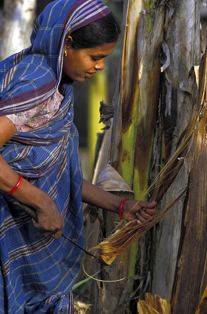 Agriculture, bangladesh. Khulna division. Woman cutting sisal