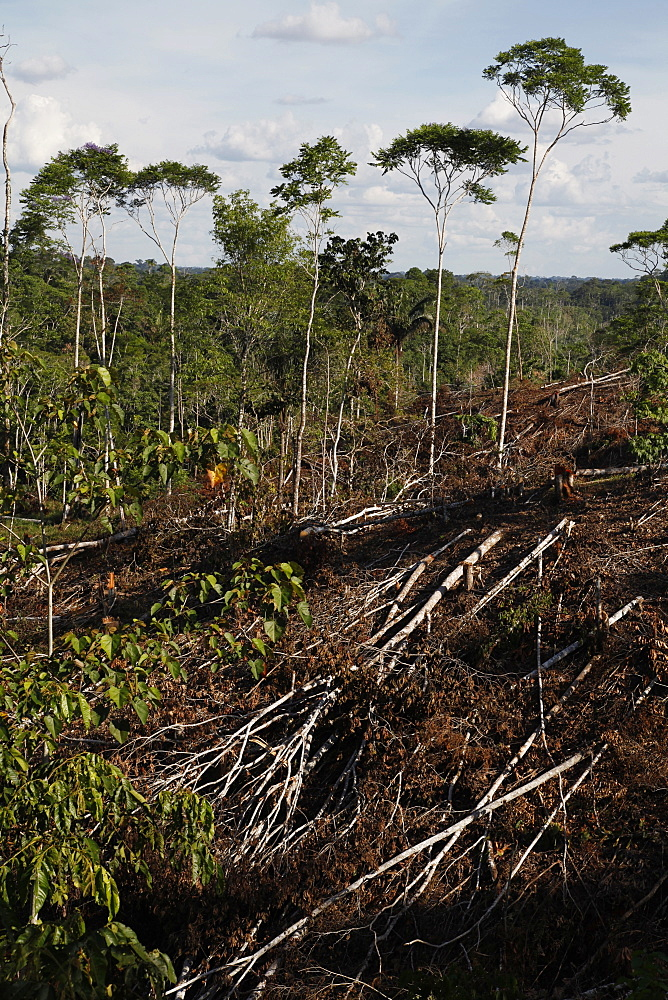 Deforestation for cattle grazing and timber logging at the Yasuni National Park. Amazon, Ecuador