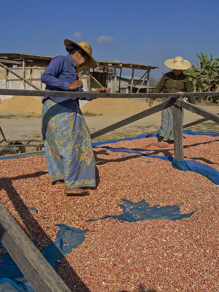 Native Shan women drying peanuts in the sun in Shan State, Myanmar (Burma), Asia