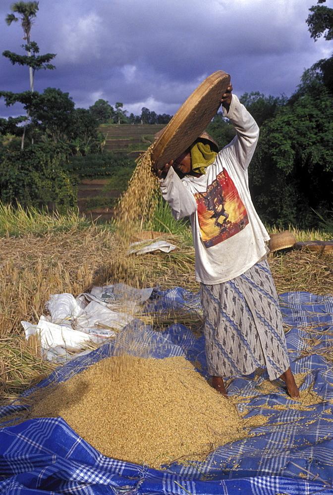 Rice harvest, indonesia. Bali