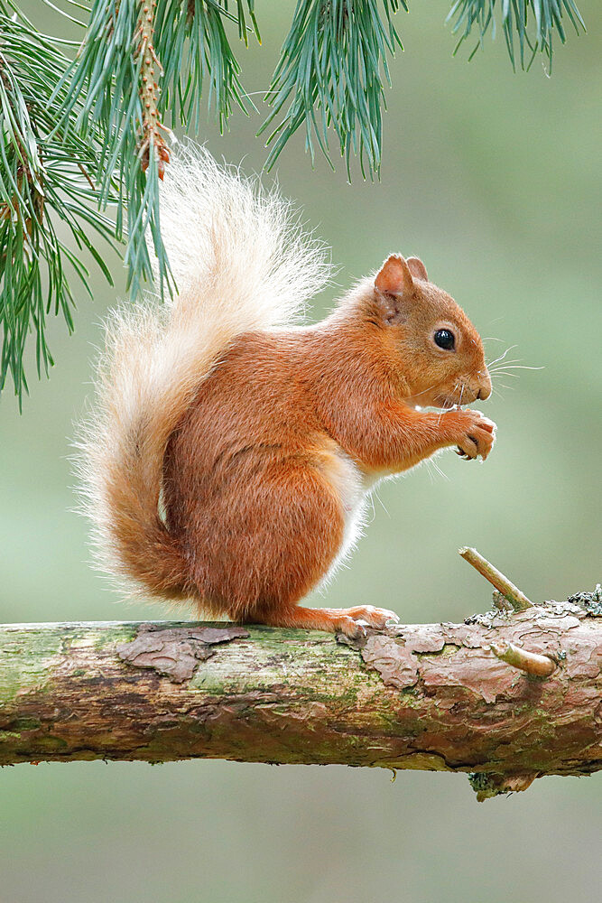 Eurasian Red Squirrel, Sciurus vulgaris, Scotland