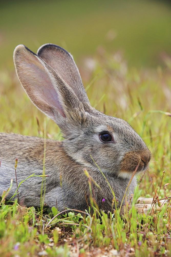 Rabbit (Oryctolagus cuniculus), Spain, Europe - 1189-33