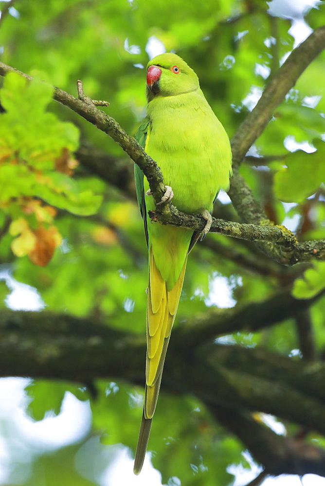 Ring-necked Parakeet (Psittacula krameri), Richmond Park, Greater London, England, United Kingdom, Europe - 1189-70