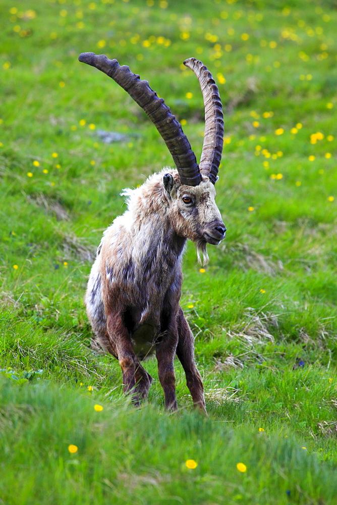 Ibex, Steinbock, Capra ibex, National Park Hohe Tauern, Austria
