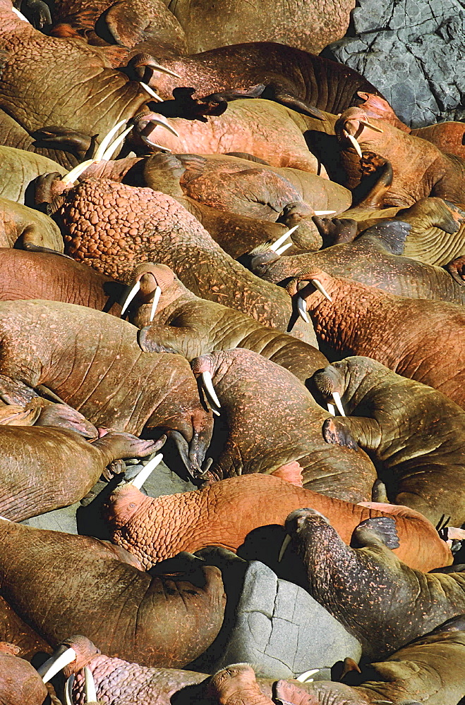 Walrus, odobenus rosmarus. Males/ bulls lying on top of each other; summer; long white tusks