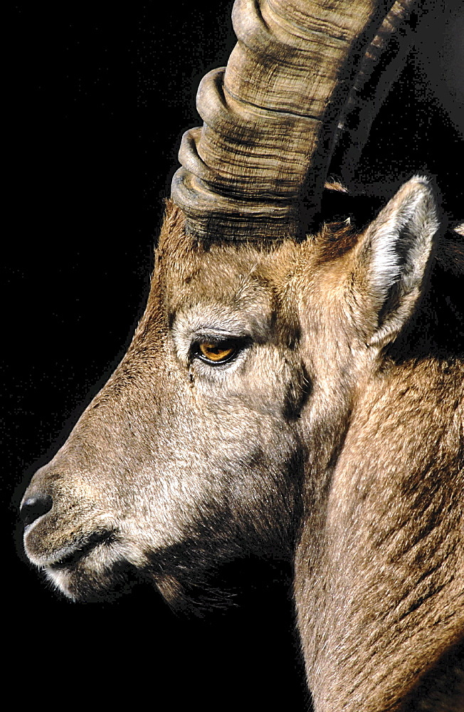 Ibex or steinbok, capra ibex. Male with big horns; close up portrait .