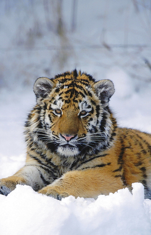 Siberian or amur tiger, panthera tigris altaica. Portrait of one year old tiger in snow; winter