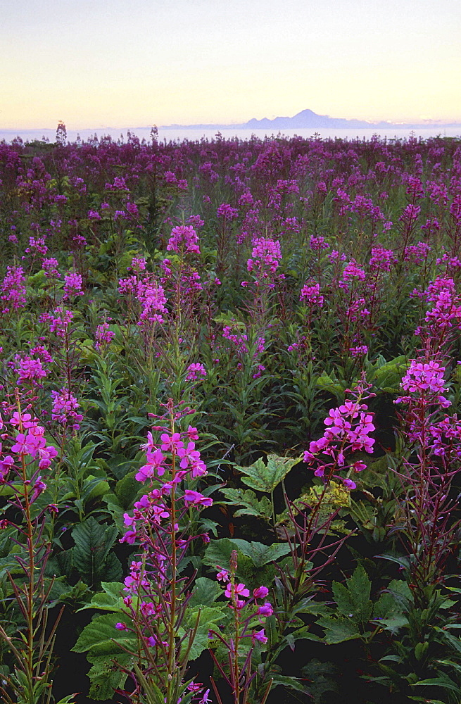 Fireweed, epilobium angustifolium. Field with mass of flowers in pink. Mountain silhouette in the background