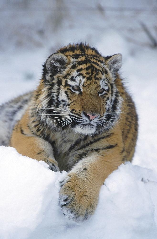 Amur tiger. Panthera tigris altaica. Portrait of one year old tiger (called cotto) in snow. Zurich zoo, zurich, switzerland