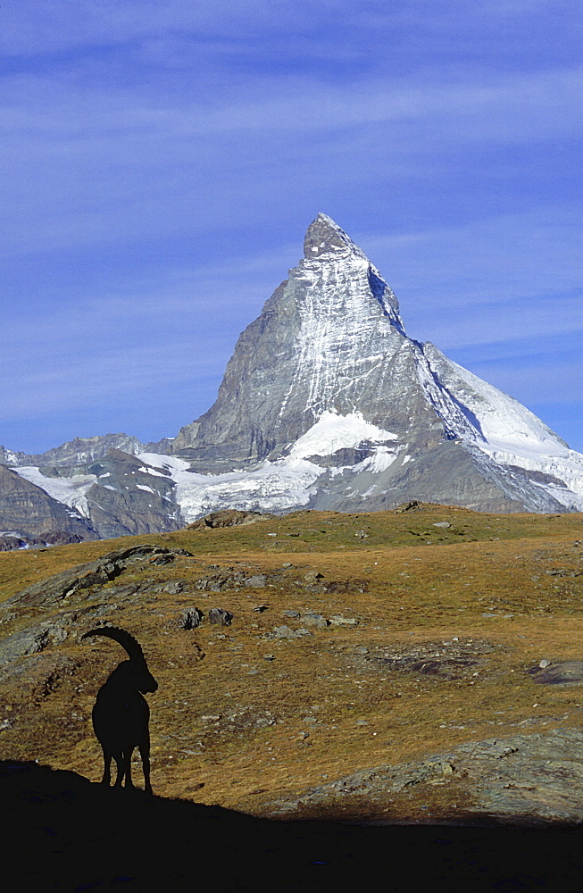 Mountains, switzerland. Valais, wallis, zermatt. Matterhorn with ibex (capra ibex) in the foreground