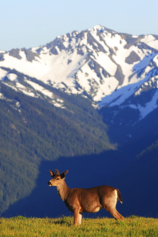 Columbian black-tailed deer, odocoileus hemionus columbianus. Young male. Hurricane ridge, olympic national park, washington