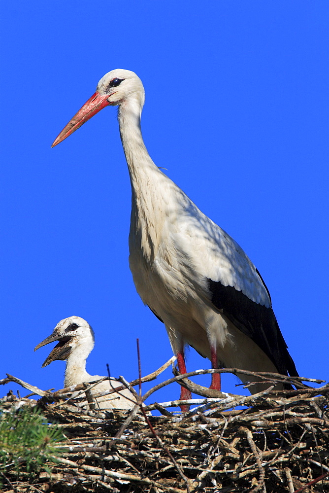 White stork, stork, ciconia ciconia, mother and young standing in nest, spring, oetwil am see, zuerich, switzerland