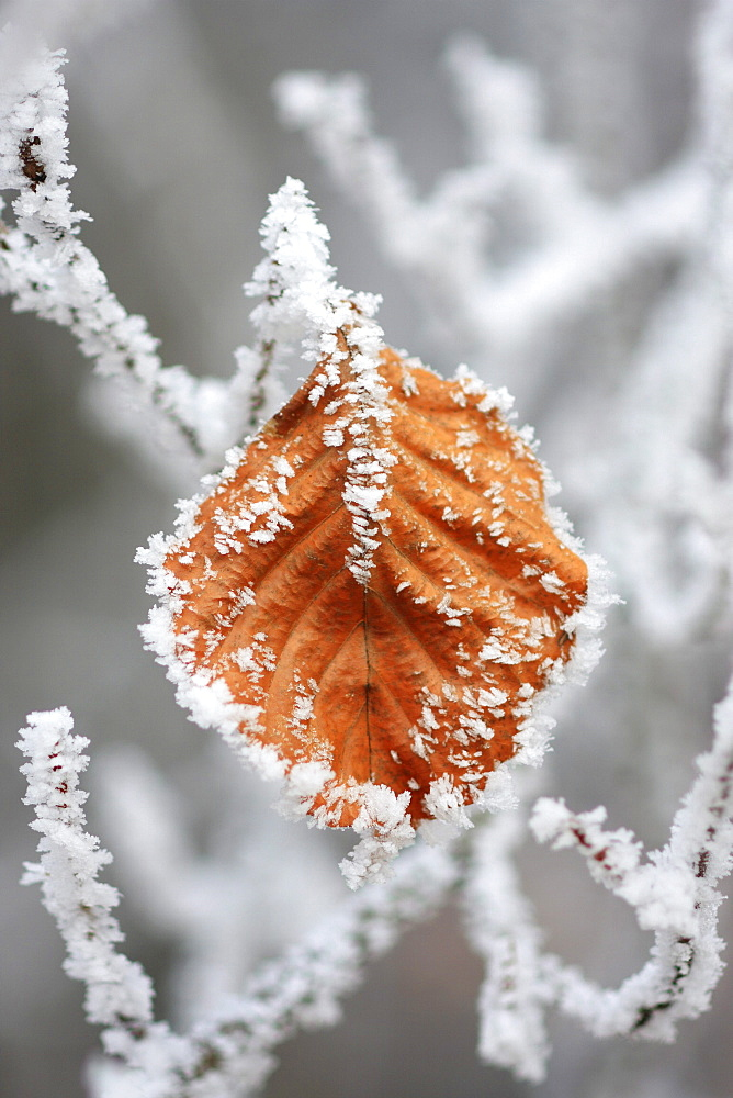 Beech leaves, fagus sylvaticia l., covered in hoarfrost, switzerland