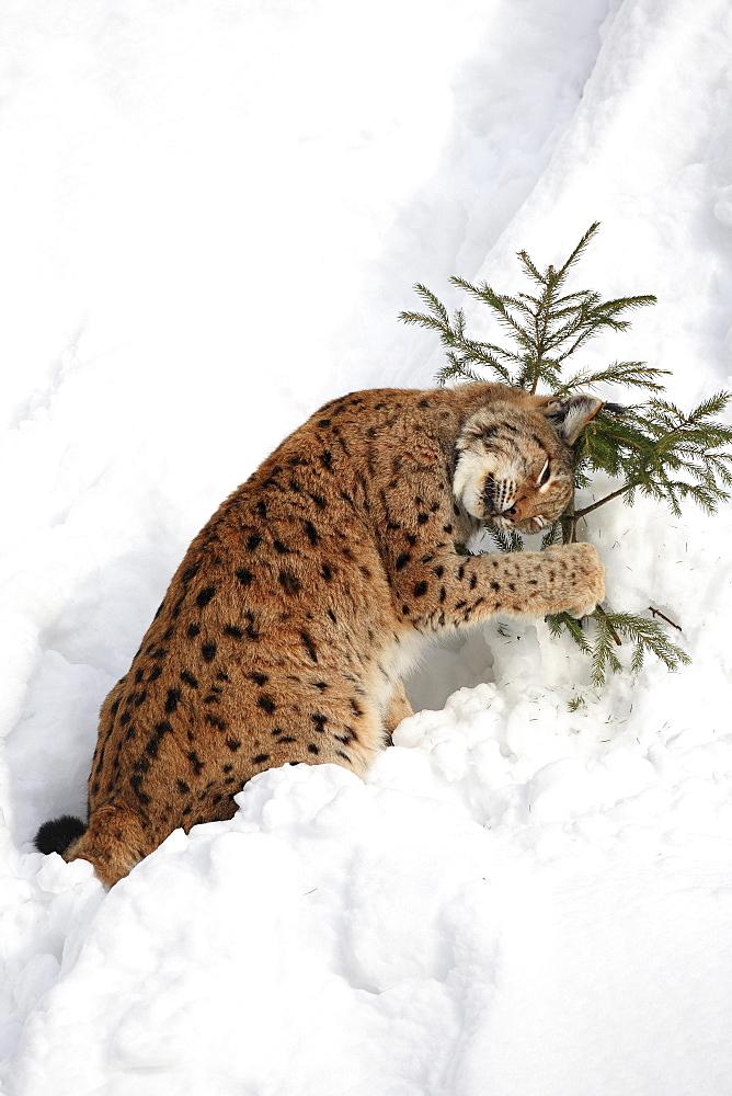 European lynx, lynx lynx, female adult, in winter, national park bayrischer wald, germany, captiv