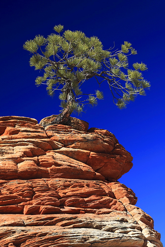 Ponderosa pine, pinus ponderosa, gelb-kiefer, gold-kiefer, ponderosa-kiefer, tree growing on sandstone, zion national park, utah, usa,