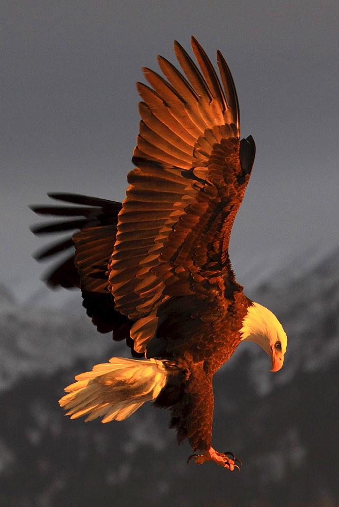 Bald eagle, haliaeetus leucocephalus, weisskopfseeadler, homer, kenai peninsula, alaska, usa