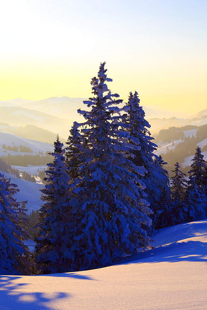 snow covered trees, winter forest, Switzerland