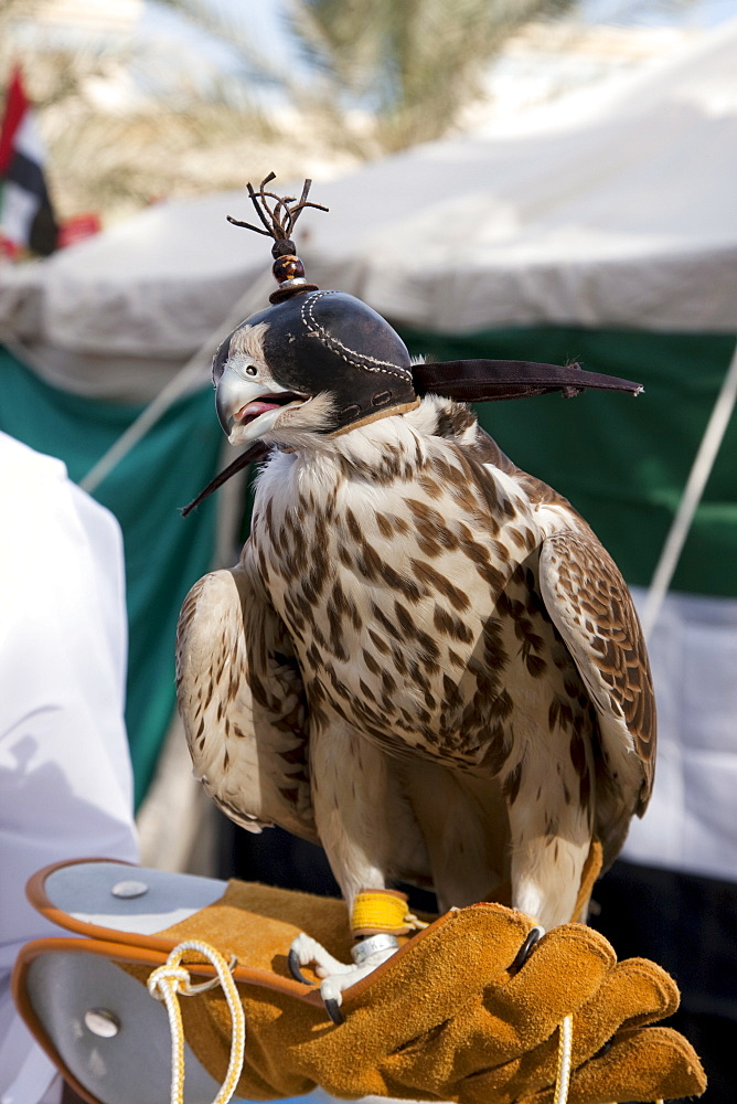 A falcon is exposed during a party for the National Day in Dubai