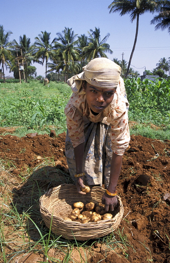 India harvesting potatoes, mulbaghal, karnataka