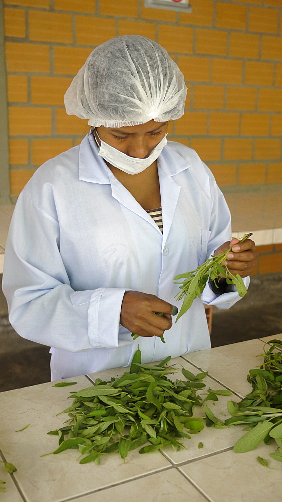 BOLIVIA Plant for processing medicinal and aromatic herbs, Chizchipani, Caranavi. The project of FUNDAWI. Cleaning and drying Salvia, a medicinal plant used for coughs and stomach problems