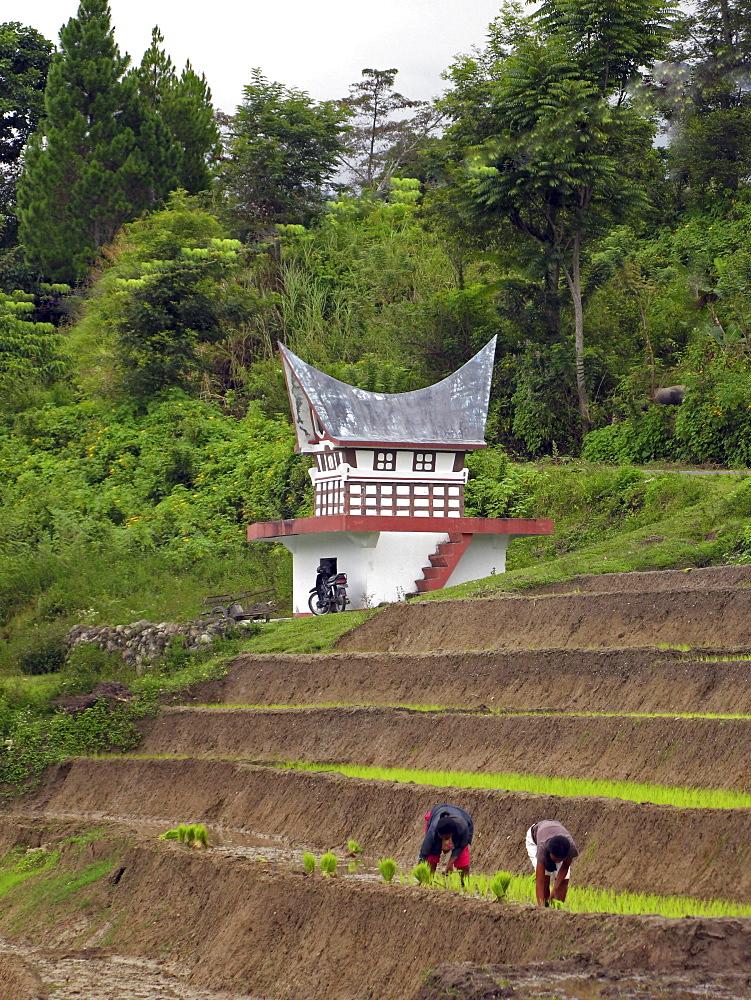 Indonesia villagers rice, batak house shaped grave in background, lake toba, sumatra