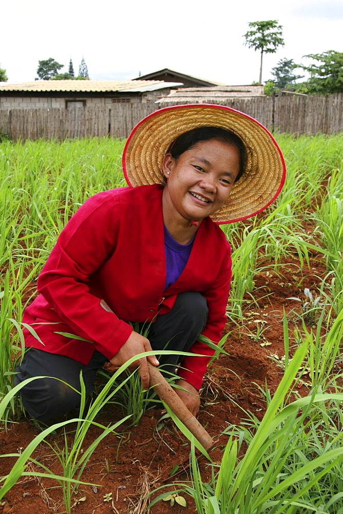 Thailand woman cultivating her corn field, chiang dao village, near chiang mai