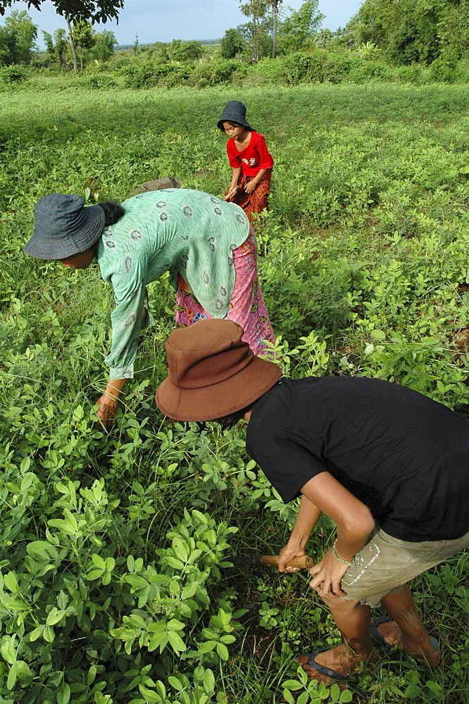 Cambodia the won family weeding their soya patch, kompong cham