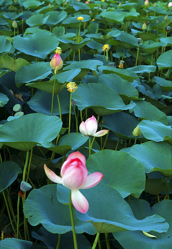 India. Lotus. When finally your life forces disintegrate, watch elements of body dissolve, then, like remeeting an friend, eagerly greet clear light of death.,seventh dalai lama, advice to an abboto