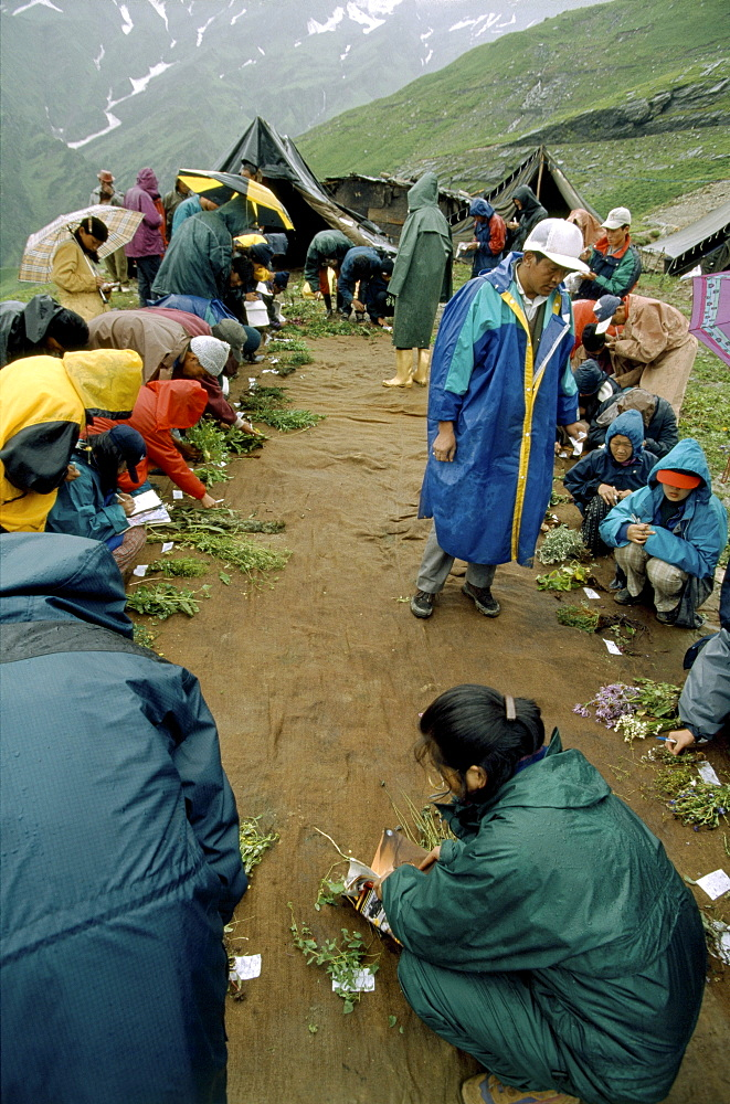 Dharmalshalla students from mezakhang (traditional tibetan school of medicine) picking plants as a practical exercise their class dealing with taxanomy of plants. Rhotang pass, manali, india