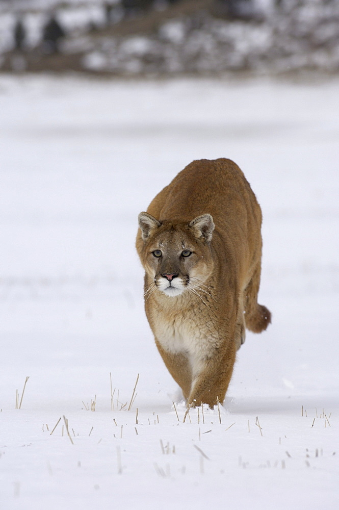 Puma or mountain lion (felis concolor) running in snow, captive.